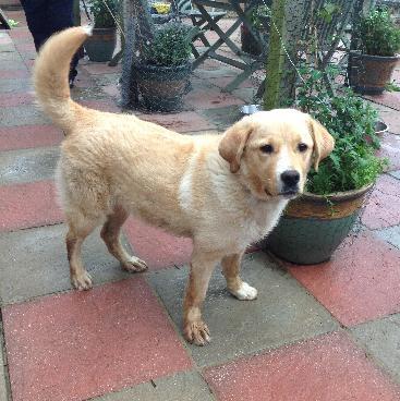 Abbie - Beautiful Golden Retriever x Labrador  (Pups Needing Homes) Abbie_zps01a113d8