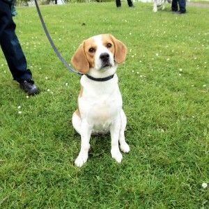 Holby - Beagle girl 2 years old (The Mayhew Animal Home) Beagle_zps830d9997