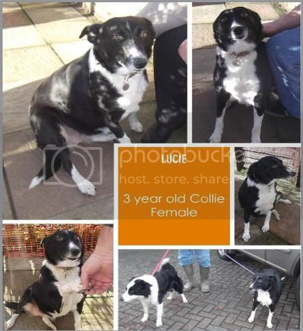 Lucie - Female Collie (Pups Needing Homes) Lucie_zpsf4412125