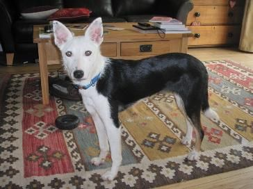 Marcie - 6 month old Border Collie (Pups Needing Homes) Mar_zps0dc93fdb