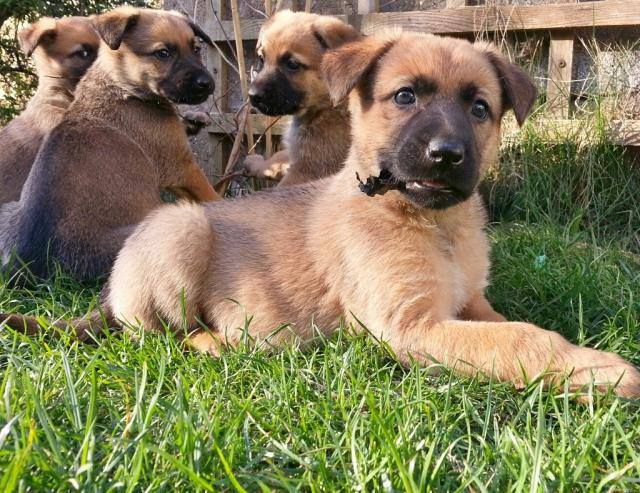 Belgian Shepherd x puppies (Animal Helpline) Pups1_zpsafb1618f