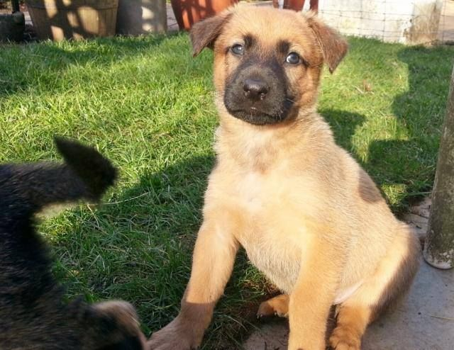 Belgian Shepherd x puppies (Animal Helpline) Pups_zps13433f65