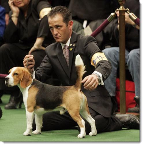 Priprema psa za izlozbu Westminster-dog-show-2011-beagle