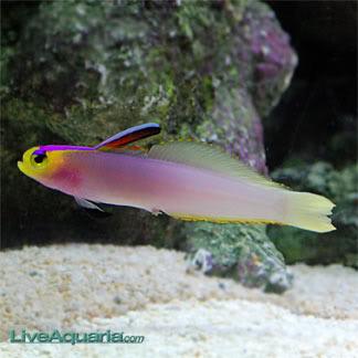 Tongan Helfrichi Firefish TonganPurpleHelfrichiFirefish
