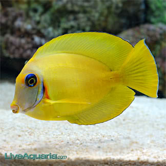 Vanutu Mimic Tang (Mimic's Lemon Peel Dwarf Angelfissh) VanuatuMimicLemonpeelTang