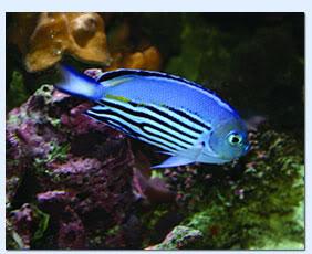 Watanabei Angelfish WantanabeiAngelfish