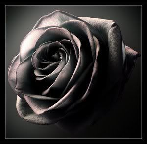 Black Rose Pictures, Images and Photos