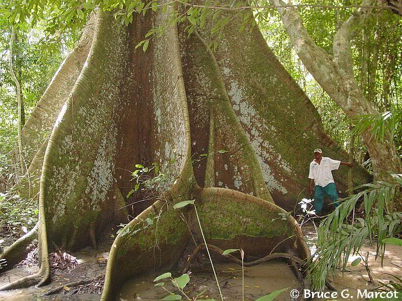 El ser vivo más grande del planeta Bobangi_cleistopholis_patens