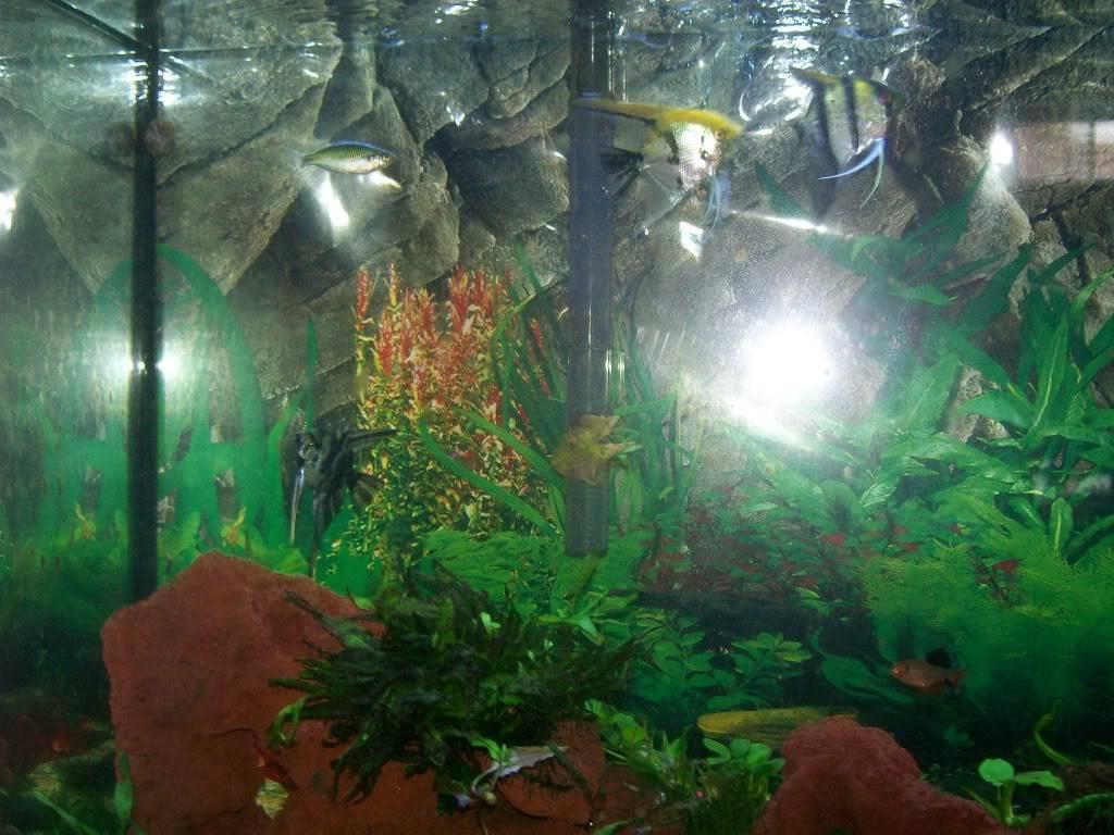 Angel fish tank Fishtank001