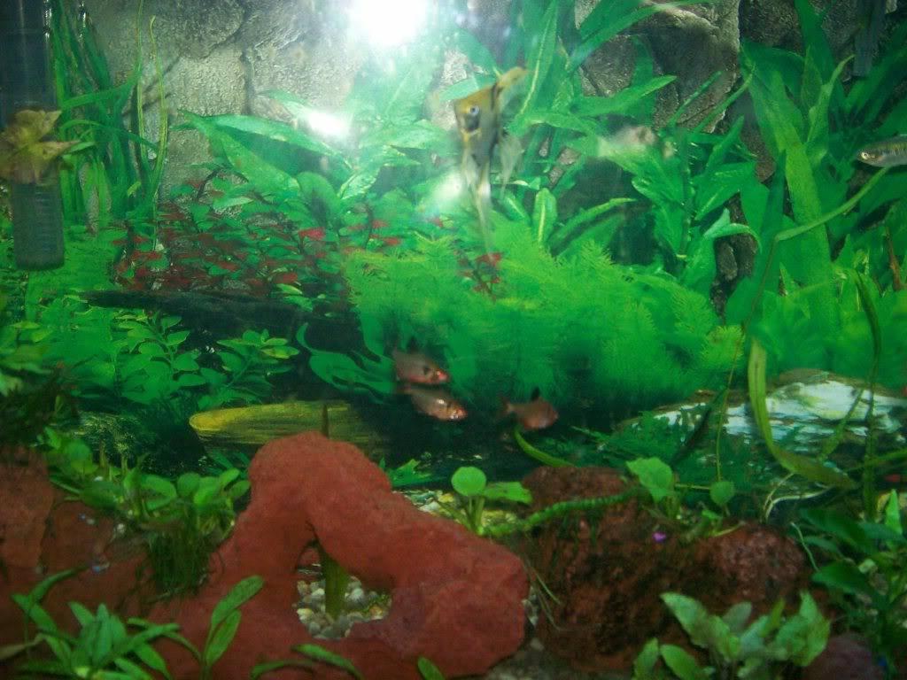 Angel fish tank Fishtank003