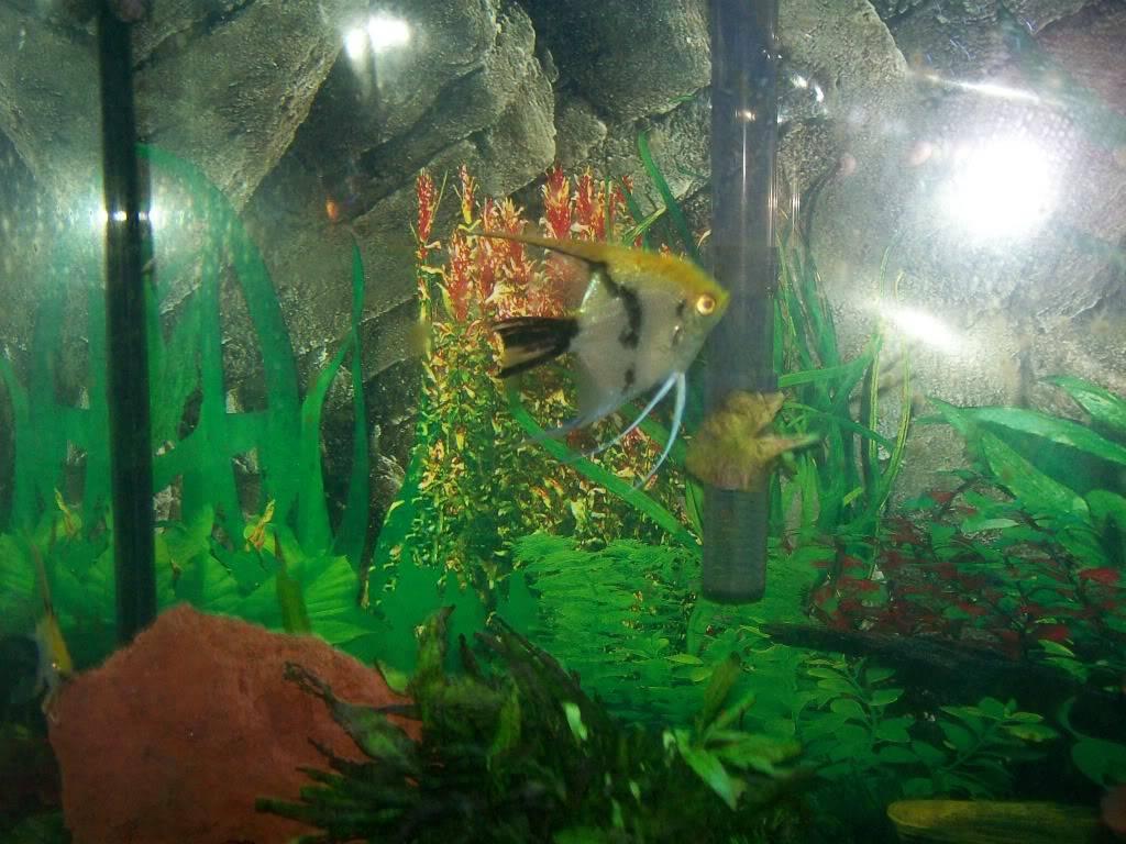 Angel fish tank Fishtank005