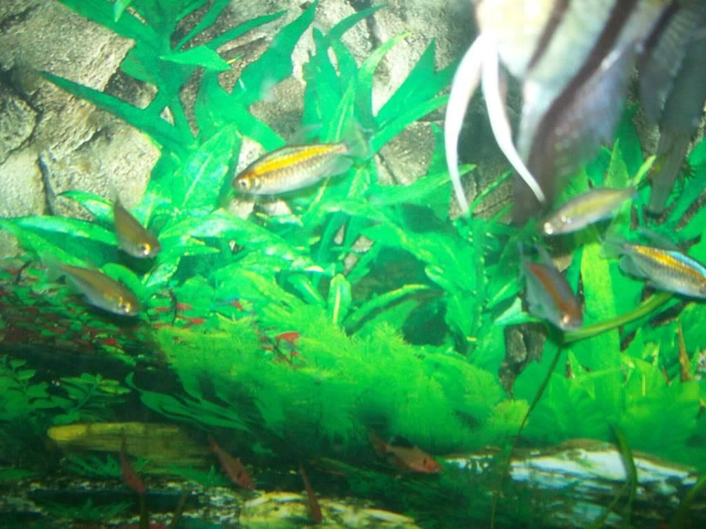 Angel fish tank Fishtank006