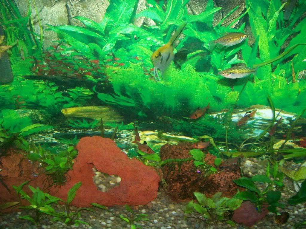 Angel fish tank Fishtank007