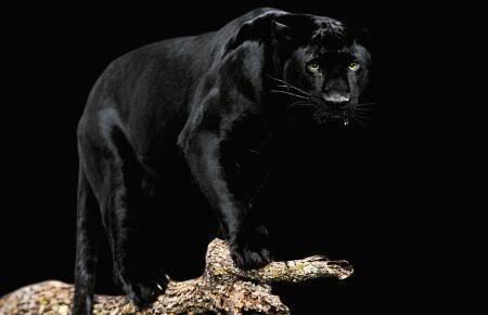 Koju životinju najviše volite Black-panther