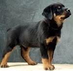 Wuff Like A Dog(Stray dogs)Semlit Accepting Throttwiler