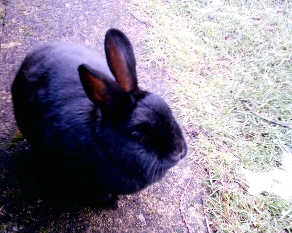 Forum Members Rabbits - Page 3 Sooty2