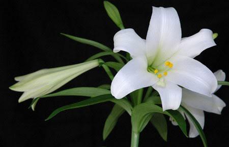 Hoa theo tháng sinh (Theo lịch phương Tây) 5