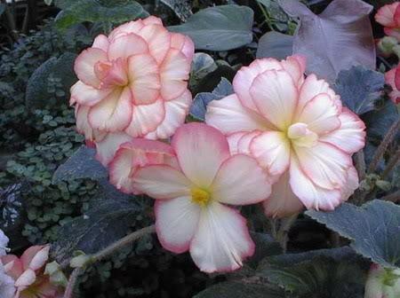 Hoa theo tháng sinh (Theo lịch phương Tây) Honghaiduong1a