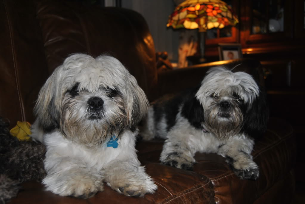 just rescued  two shih Tzu DSC_0096