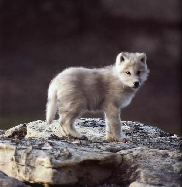 Kira's bios Wolf_Cub_by_darkladyofslytherin