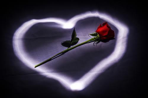 بستان ورد المصــــــــراوية - صفحة 96 Rose