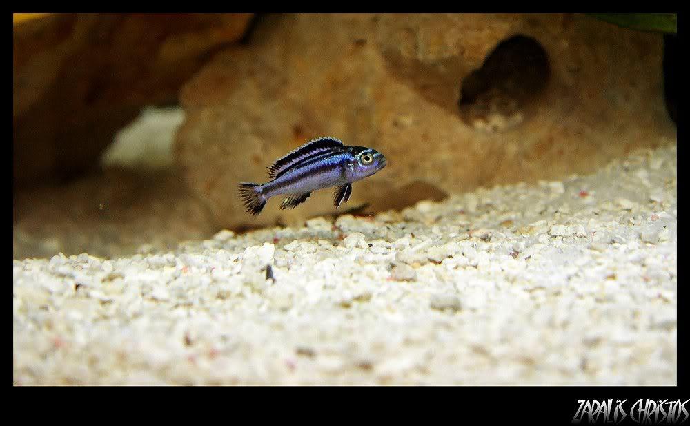 "Melanochromis Cyaneorhabdos ""Maingano"" 54453"
