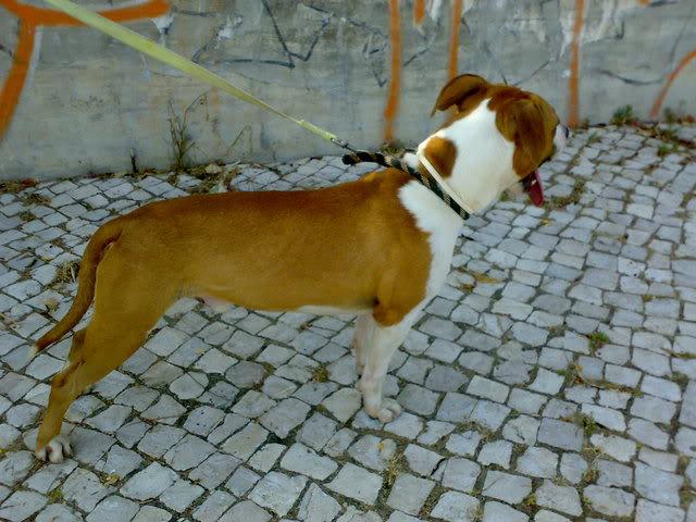 Ulisses, Pitbull bicolor, menos de 2 anos, UZ 19072008068
