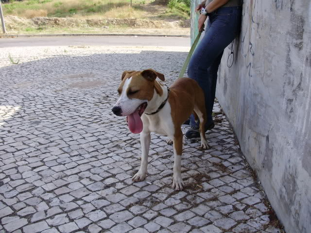 Ulisses, Pitbull bicolor, menos de 2 anos, UZ P6010056