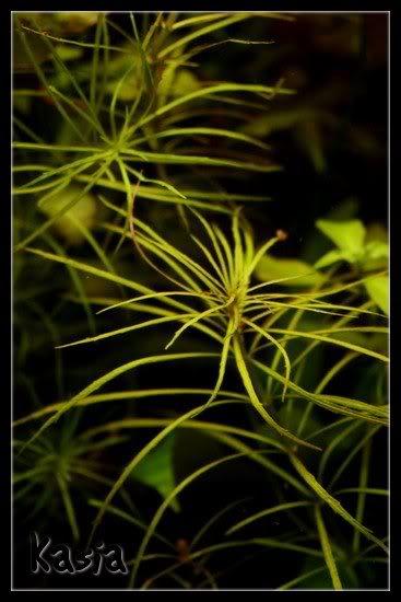 Eusteralis stellata / Star rotala   --by Kasia-- Eusteralisstellata2