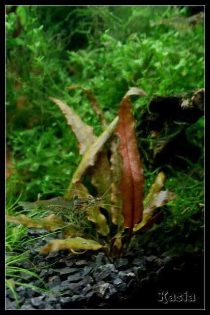 Cryptocoryne Wendtti Brown   --by Kasia-- Crypto2