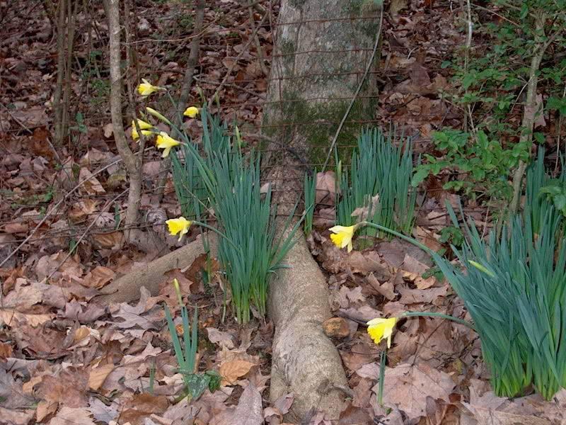 My Daffodils IM001079