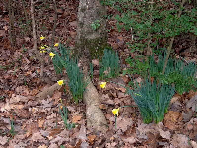 My Daffodils IM001080