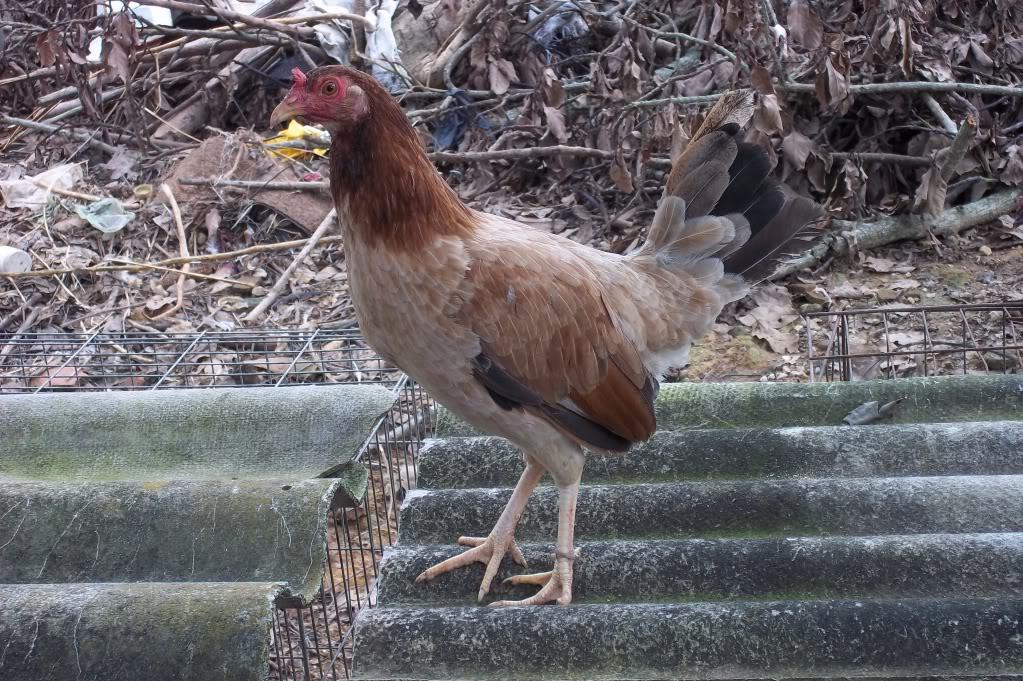 fotos de sus gallos - Página 3 100_0371