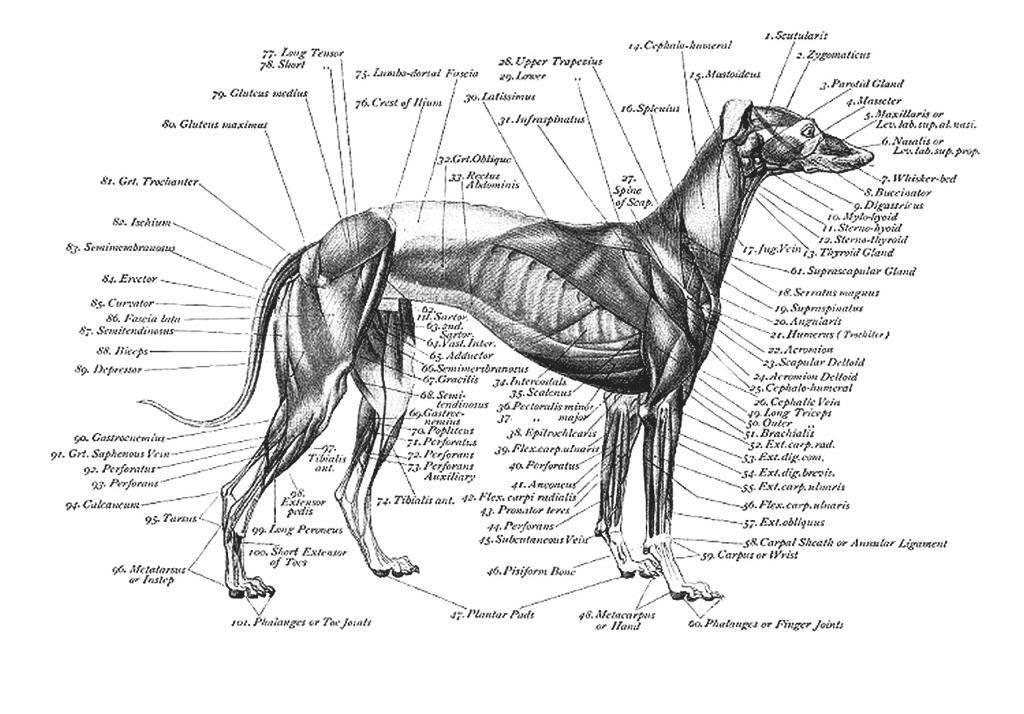 Gemütlich Hund Anatomie Bild Galerie - Menschliche Anatomie Bilder ...