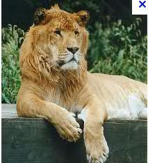 Do we really know how intelligent animals are? - Page 2 Liger