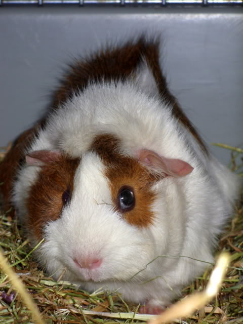 I got two new Guinea pigs. SDC14996