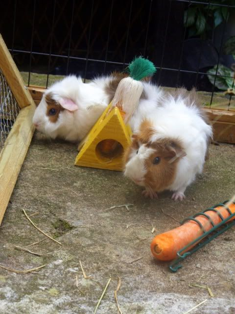 I got two new Guinea pigs. SDC15233