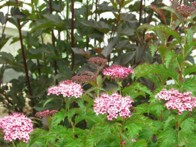 Spiraea japonica Crispa IMG_2426