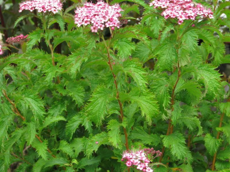 Spiraea japonica Crispa IMG_2427