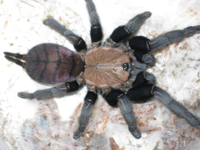 my new indian violet Spiders010