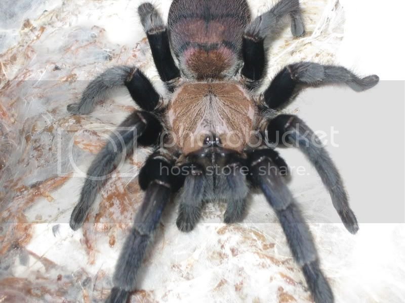 my new indian violet Spiders011