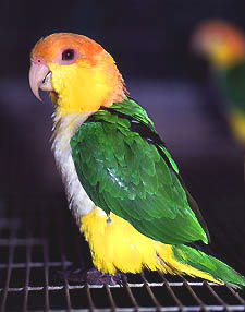 Species of the Caique Ytc