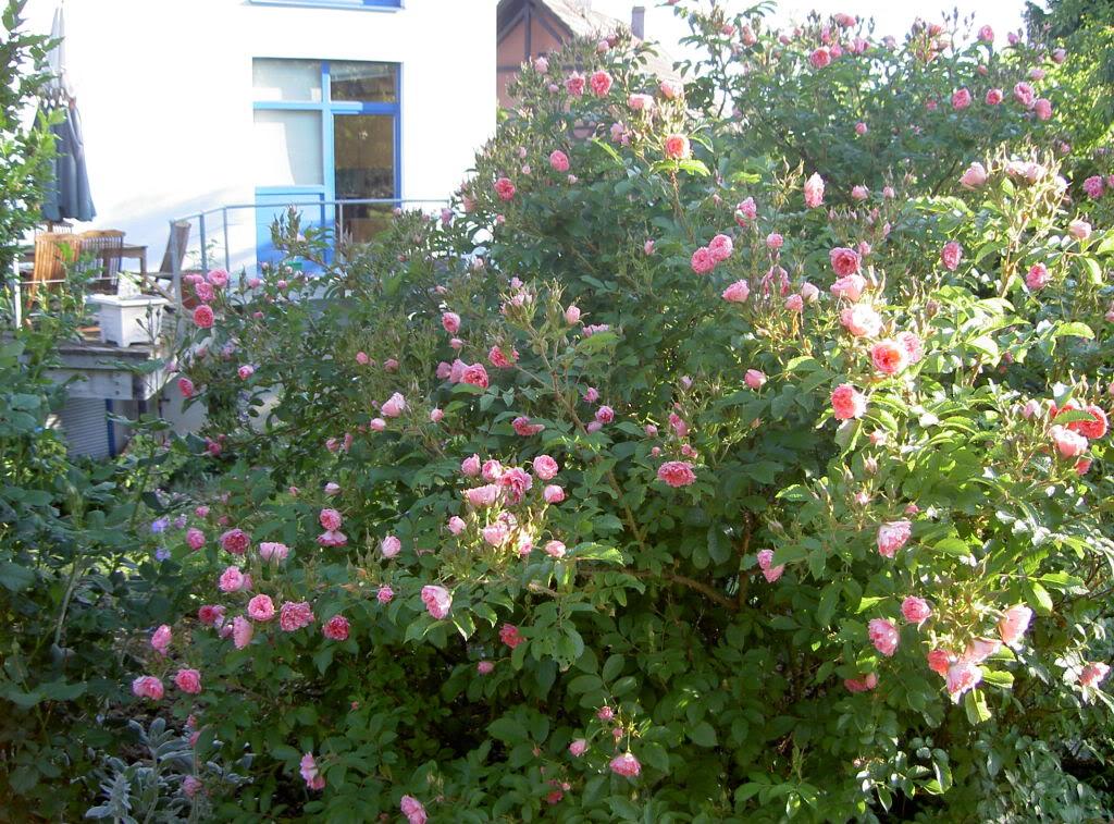 rugosa pink grootendorst Jardinjuin05046