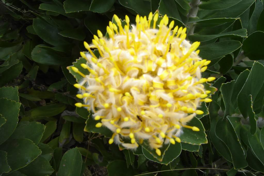 Boule de coco citronnée : le nec plus ultra ! DSC01851