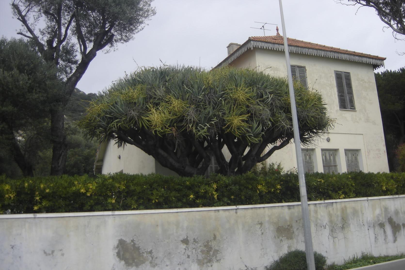 Dracaena draco à Ajaccio DSC02358
