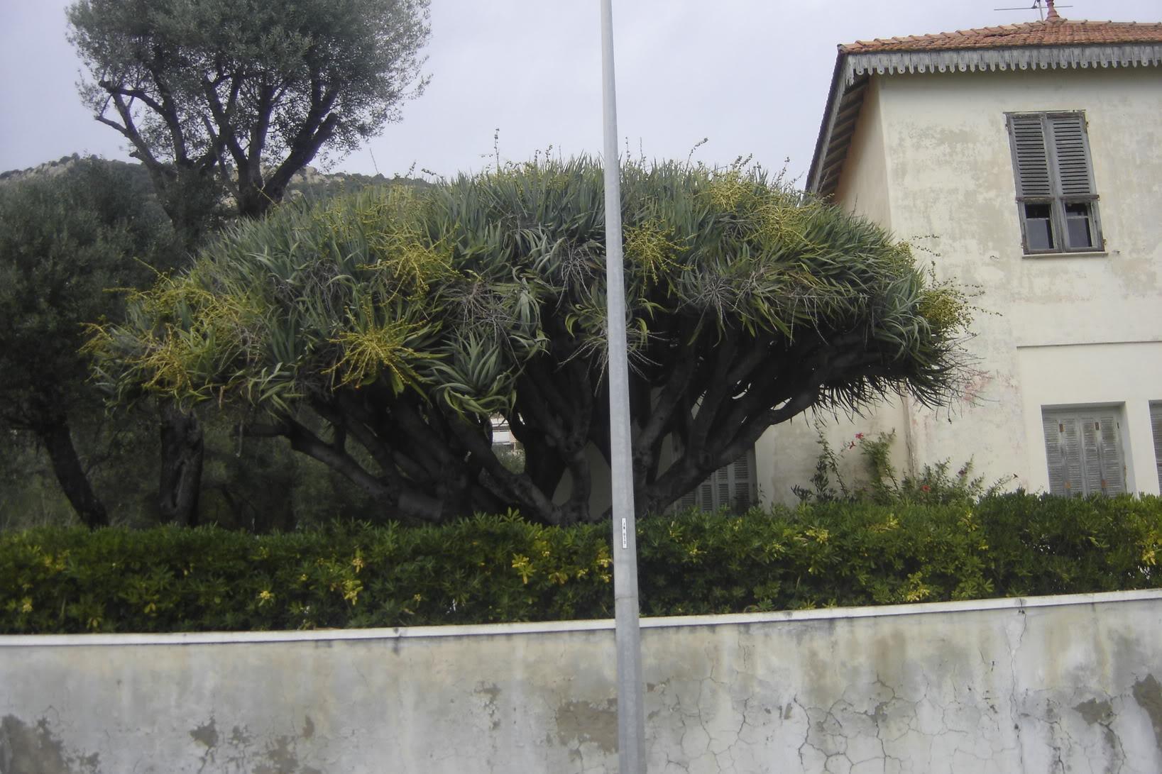 Dracaena draco à Ajaccio DSC02359