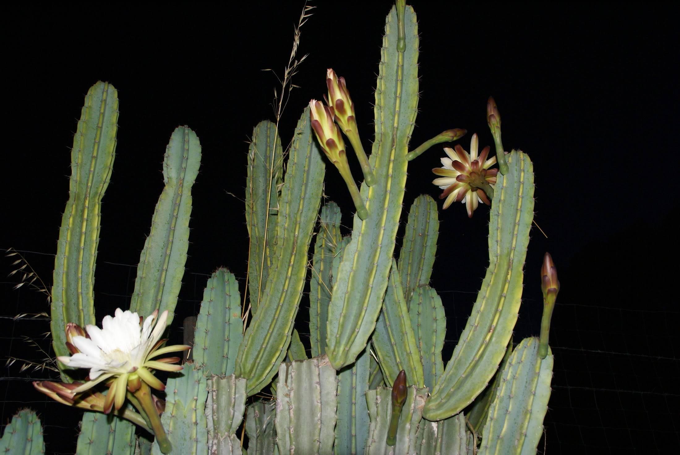 Floraison nocturne DSC07324