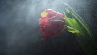 மீனு தரும்  ரோஜா மலர்கள் உங்களுக்காக... - Page 3 Rose
