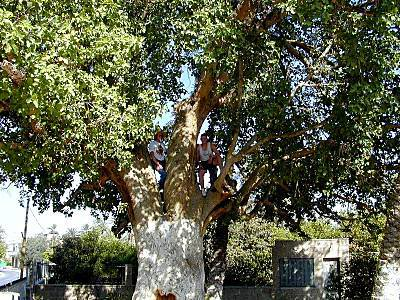 موسوعة الصور لفلسطين الحبيبة Jericho_sycamore_tree_tb_n062100_wr