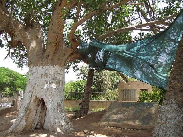 موسوعة الصور لفلسطين الحبيبة Jericho-palestinetreeofZacchaeus.3